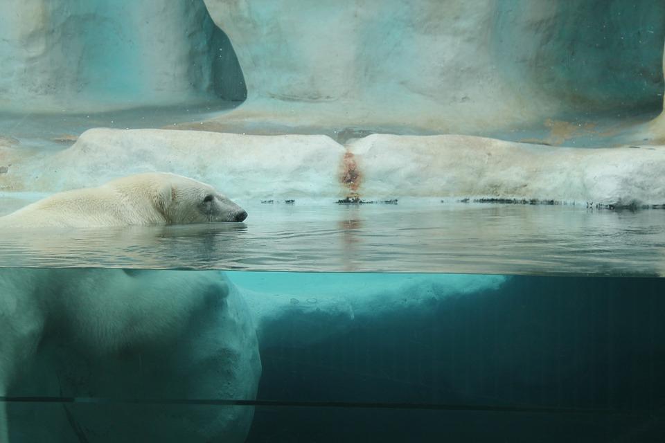 Wspólne świętowanie urodzin niedźwiedzi polarnych